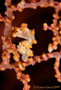 Yellow Pygmy Seahorse[Hippocamcampus bargibanti]-Raja Ampat by Richard Goluch 